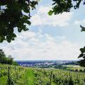 vinice U Všech svatých